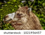 camel head shot | Shutterstock . vector #1021956457