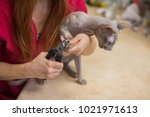 hairless sphinx cat with... | Shutterstock . vector #1021971613