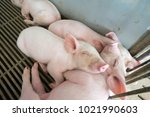 Cute Piglets Are Sleeping...