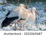 white stork in snow   Shutterstock . vector #1022065687