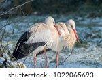 white stork in snow   Shutterstock . vector #1022065693