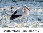 white stork in snow   Shutterstock . vector #1022065717