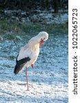 white stork in snow   Shutterstock . vector #1022065723
