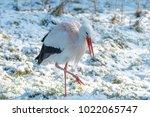 white stork in snow   Shutterstock . vector #1022065747