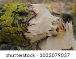 beaver gnawed and piled wood ... | Shutterstock . vector #1022079037
