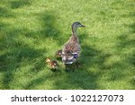 Duck With Ducklings On A Green...