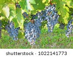 black grape cabernet sauvignon... | Shutterstock . vector #1022141773