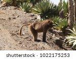 gelada baboon in simien... | Shutterstock . vector #1022175253