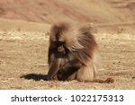 gelada baboon in simien... | Shutterstock . vector #1022175313