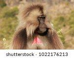 gelada baboon in simien... | Shutterstock . vector #1022176213