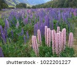 lupin flower filed  natural... | Shutterstock . vector #1022201227