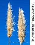 White Pampas Grass Against A...