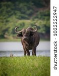 Small photo of African buffalo at the river