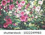 pink hollyhock flowers | Shutterstock . vector #1022249983