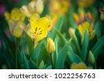 colorful tulips with beautiful... | Shutterstock . vector #1022256763