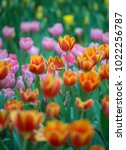 colorful tulips with beautiful... | Shutterstock . vector #1022256787