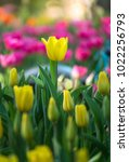 colorful tulips with beautiful... | Shutterstock . vector #1022256793