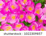 crocus  plural crocuses or... | Shutterstock . vector #1022309857