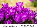 crocus  plural crocuses or... | Shutterstock . vector #1022309863