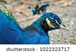 peafowl  peacock  blue and...   Shutterstock . vector #1022323717
