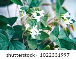 Small White Flowers With Green...