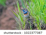 beautiful bluethroat with a...   Shutterstock . vector #1022377387
