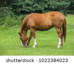 Light Brown Horse With White...