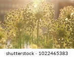 funny flowers allium on a city... | Shutterstock . vector #1022465383