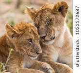 young  lion sibiling cute cubs  ... | Shutterstock . vector #1022572687