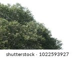 isolated tree on white... | Shutterstock . vector #1022593927