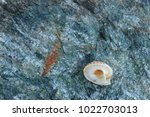 shells on gray stone  the sea... | Shutterstock . vector #1022703013