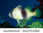 barred soapfish  two banded... | Shutterstock . vector #1022913283