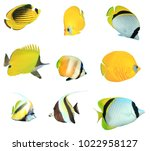 butterflyfish collection. reef... | Shutterstock . vector #1022958127