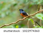 white rumped shama male bird... | Shutterstock . vector #1022974363