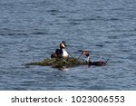 great crested grebe  podiceps...   Shutterstock . vector #1023006553