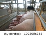 pig and suckling pig in... | Shutterstock . vector #1023056353