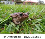 Toad  Bufo Bufo  Stopped In Th...