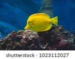 the yellow tang  zebrasoma... | Shutterstock . vector #1023112027