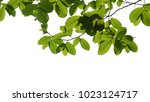 tree branch isolated | Shutterstock . vector #1023124717