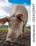 happy pigs on a farm in the uk   Shutterstock . vector #1023125947