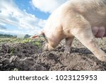 happy pigs on a farm in the uk   Shutterstock . vector #1023125953