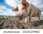 happy pigs on a farm in the uk   Shutterstock . vector #1023125983