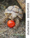 african spurred tortoise in the ... | Shutterstock . vector #1023149233