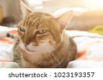 unhappy fat tabby cat look at... | Shutterstock . vector #1023193357