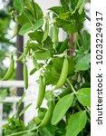 Pea Plant  Pisum Sativum  With...