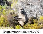 baboon at cape of good hope ... | Shutterstock . vector #1023287977