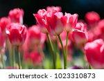 amazing nature concept of pink... | Shutterstock . vector #1023310873