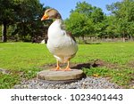 home goose at the countryside.... | Shutterstock . vector #1023401443