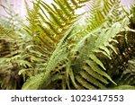 beautyful ferns leaves green... | Shutterstock . vector #1023417553