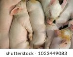 view of a fertile sow lying on... | Shutterstock . vector #1023449083